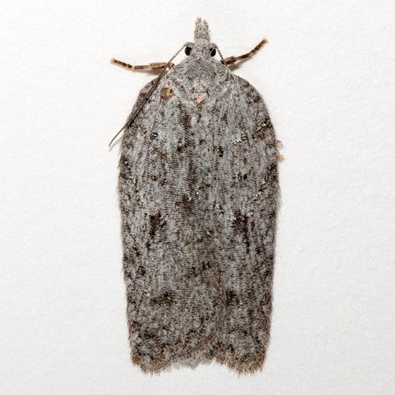 Acleris maximana - female