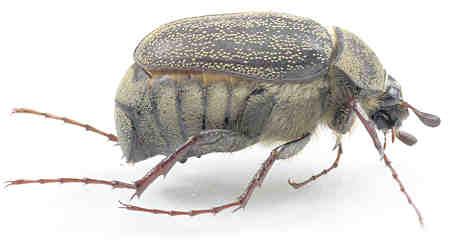 Scarabaeidae - ? - Phyllophaga lanceolata