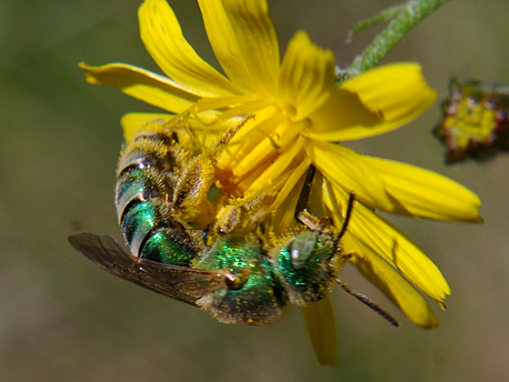 Metallic Green Bee - Agapostemon - female