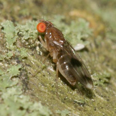 Lesser Fruit Fly - Chymomyza amoena
