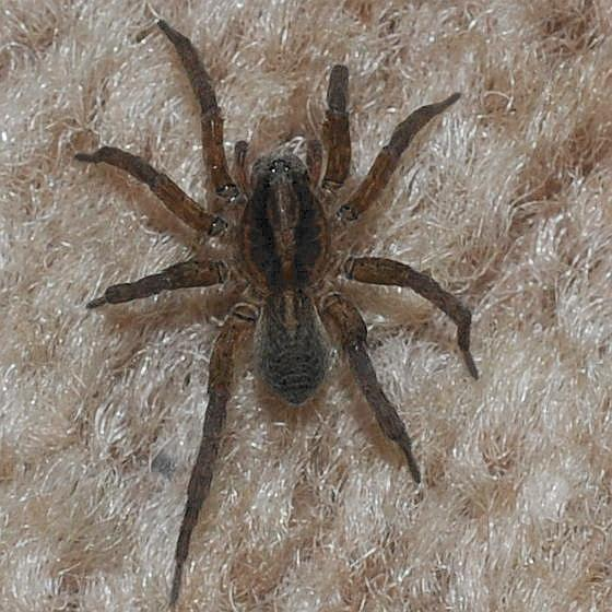 Carpet spider - Trochosa