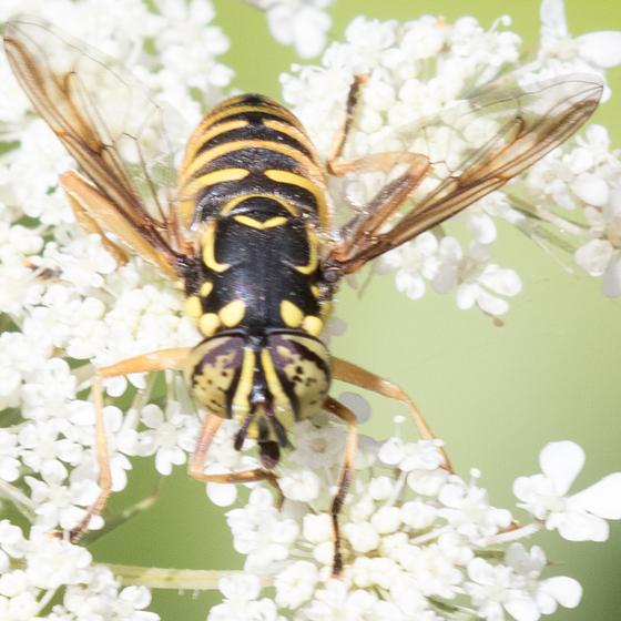 Spilomyia citima ? - Spilomyia foxleei