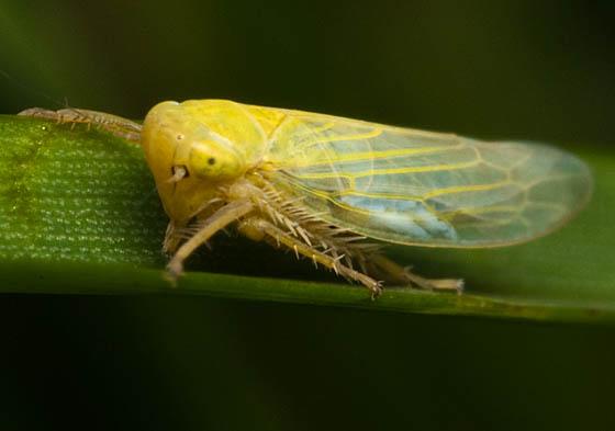Leaf Hopper - Elymana sulphurella