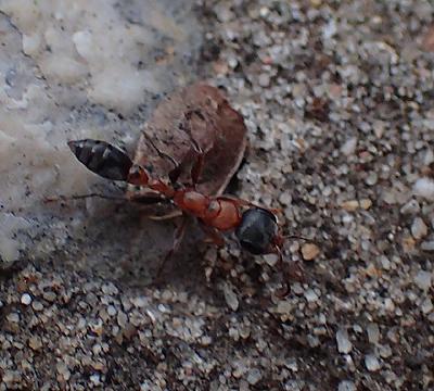 Pseudomyrmex gracilis  - Pseudomyrmex gracilis