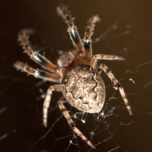 Spider - Larinioides patagiatus