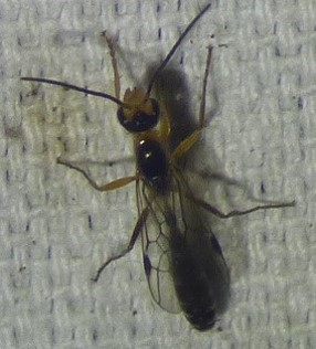 unknown insect - Pseudomyrmex gracilis - male
