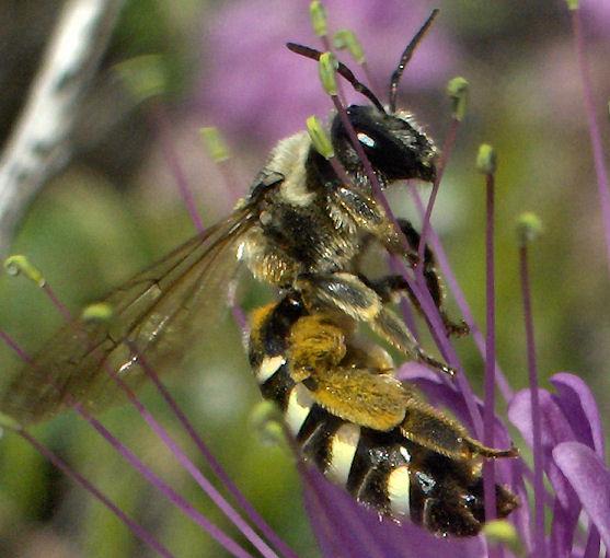 Bee, I think. - Nomia melanderi