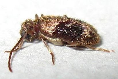 Spider Beetle - Ptinus