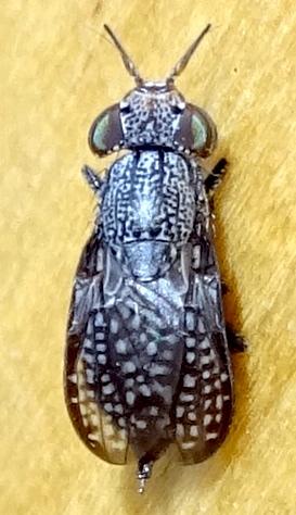 Big Eye Bug - Stictomyia longicornis