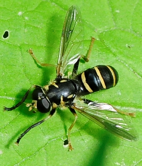 Syrphid Flies Temnostoma either balyras, barberi, obscurum, or trifasciatum - Temnostoma