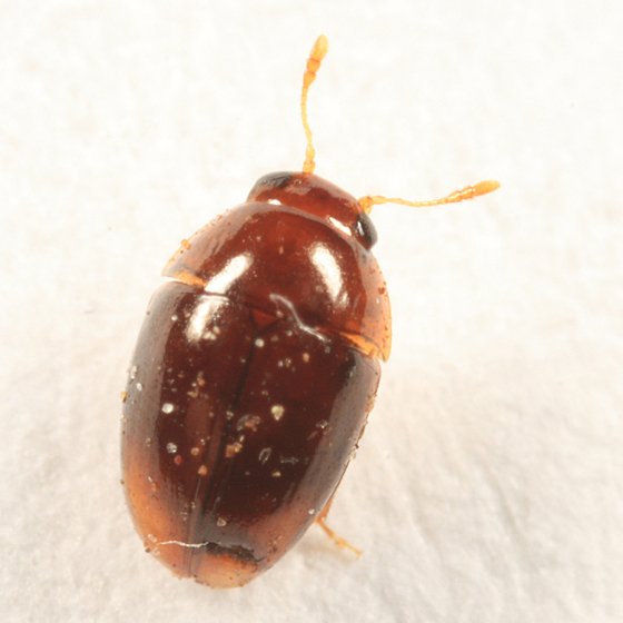 small beetle - Stilbus
