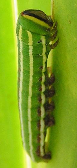 Mystery caterpillar - Lapara coniferarum