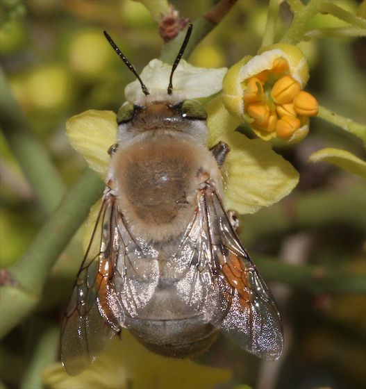 Bee in Palo Verde blossoms - Centris pallida