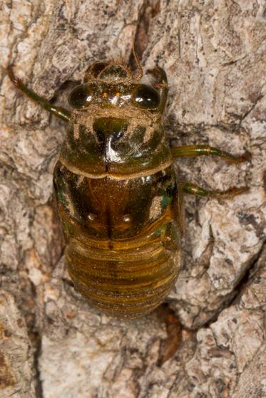 Annual Cicada - Neotibicen