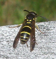 Small Black With Yellow Stripes 1