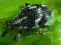 Curculionidae - Anthonomus lecontei