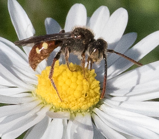 Bee or wasp? - Nomada - male