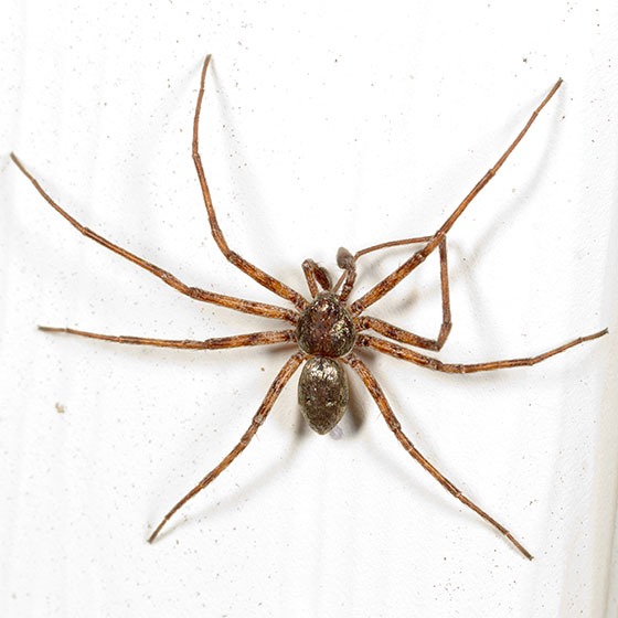 Brown Spider With Some White Ish Yellow Markings