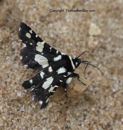 Moth - Thyris sepulchralis