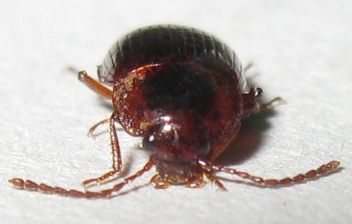 Primitive Carrion Beetle? - Apteroloma tenuicorne