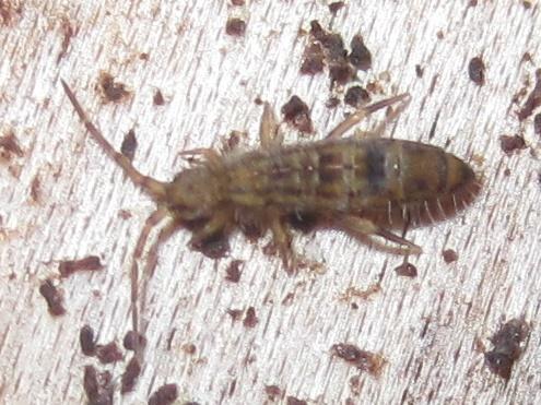 Isotomidae? - Orchesella