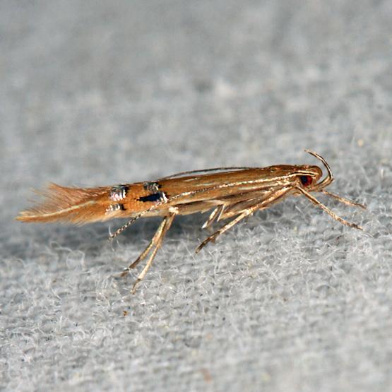 moth - Cosmopterix fernaldella