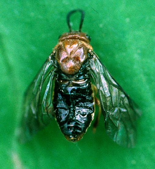 Red-headed Pine Sawfly Female - Neodiprion lecontei - female