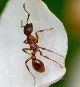 Myrmicinae - Myrmica rubra