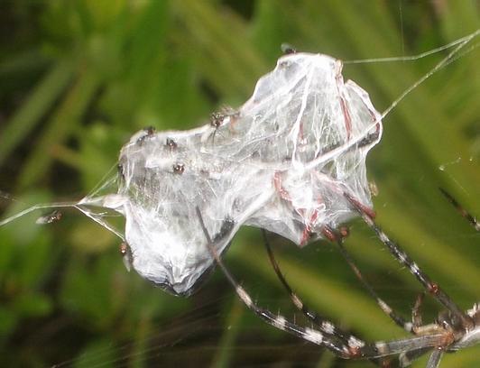 Flies on prey - Argiope florida