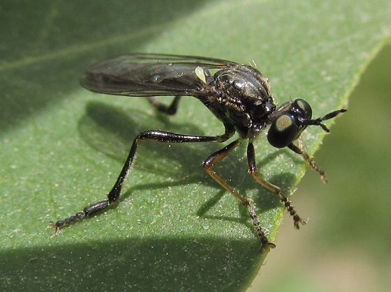 Robberfly? - Dioctria hyalipennis