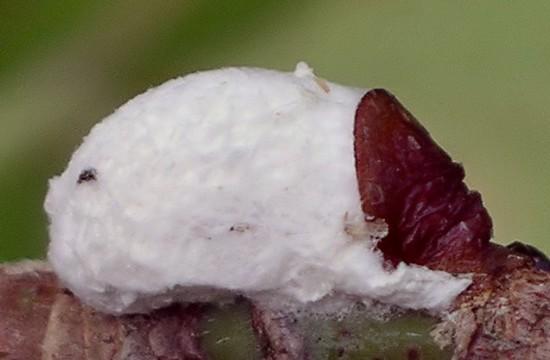 scale - Pulvinaria - female