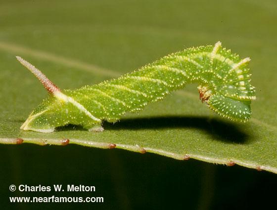 Larva Day 8 - Pachysphinx occidentalis
