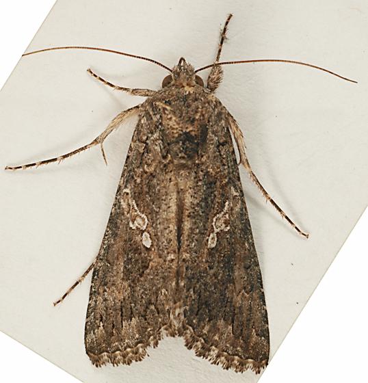 Moth to blacklight, eggs and caterpillars - Trichoplusia ni