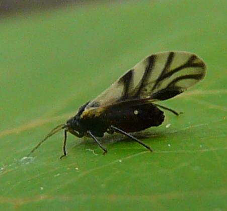 Black-veined-wing Aphid - Chaitophorus populicola