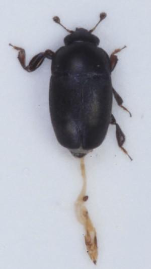 Genistogethes carinulatus