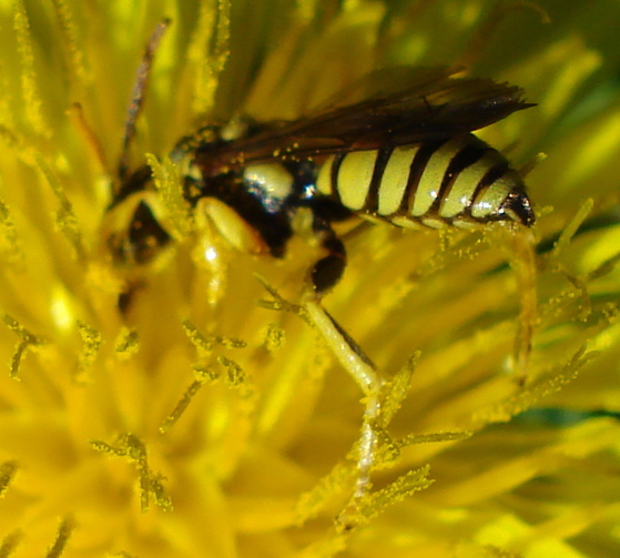 tiny wasp ? - Nomada - male