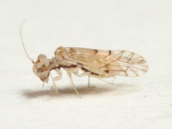 Lachesilla floridana Garcia Aldrete - Lachesilla floridana - female