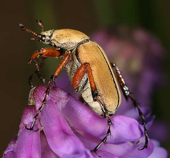 Macrodactylus