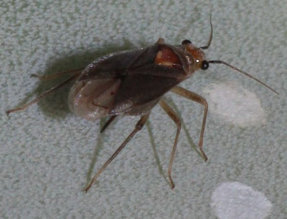 Tiny Bug - Agaveocoris