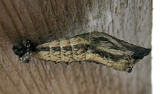 Dark specimen - Papilio zelicaon