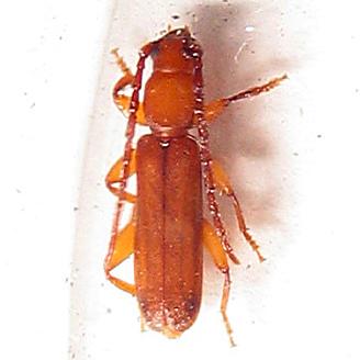 Longhorned beetle - Smodicum cucujiforme