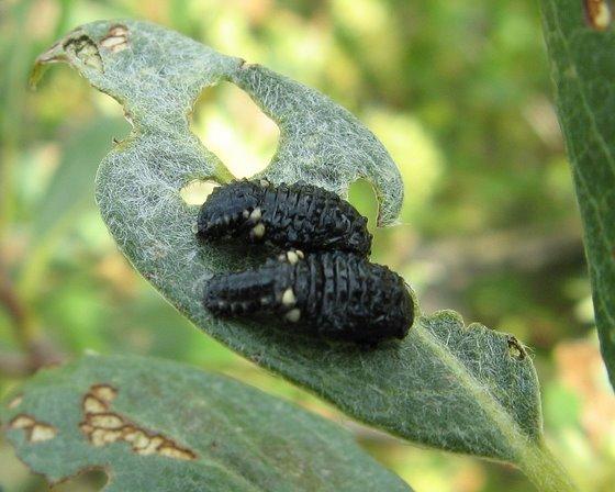 Leaf Beetle Pupae - Chrysomela aeneicollis