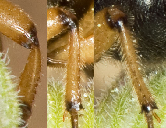Thought it was a bee or wasp...with bizarre antennae! - Ripiphorus rex - female
