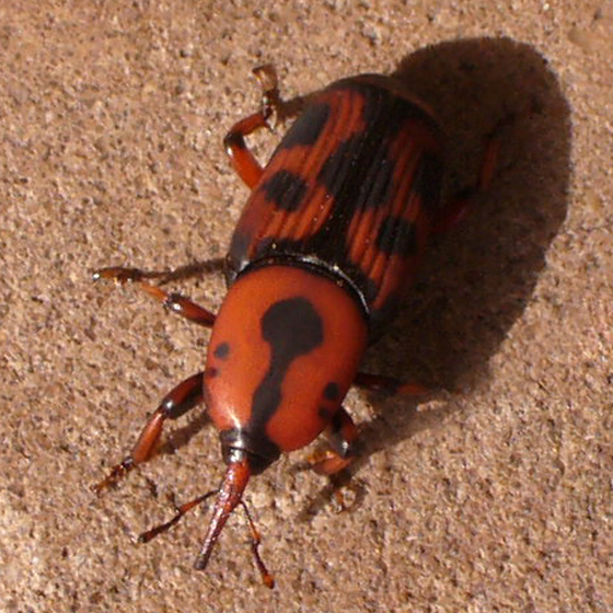 Unknown Beetle - Rhynchophorus cruentatus