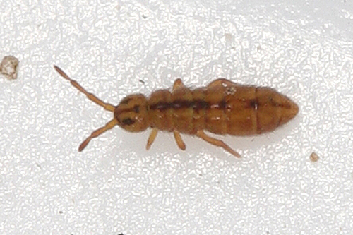 young springtail - Isotomurus tricolor