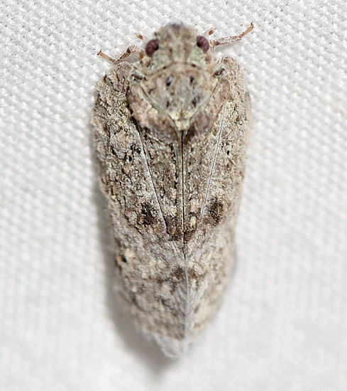 101812Hopper1 - Flatoidinus punctatus