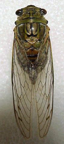 Giant Cicada - Quesada gigas - female