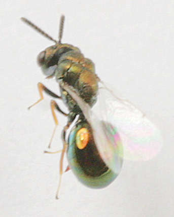 Family Eucharitidae -? - Orasema