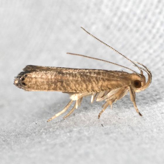 Black-fringed Psilocorsis - Hodges #0956 - Psilocorsis cryptolechiella