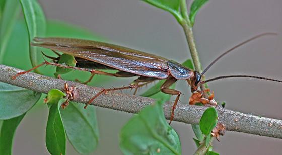 farmapest yavru hamam böceği resimleri ile ilgili görsel sonucu